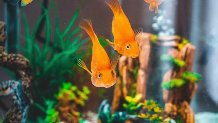 Goldfish Ka Scientific Naam Kya Hai? गोल्डफिश का साइंटिफिक नाम क्या है